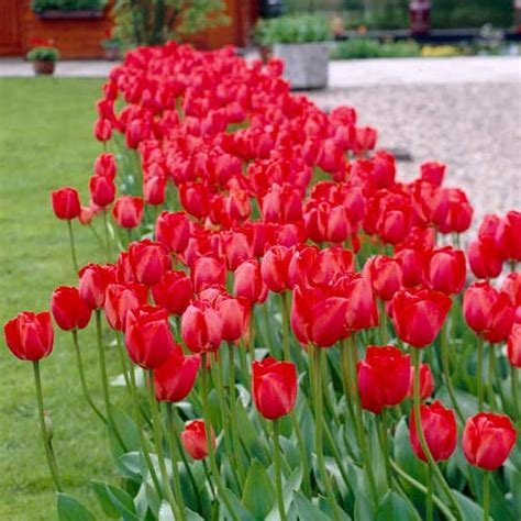 tulip bulbs item 1029 kolpakowskiana darwin hybrid tulip red impression k van bourgondiens