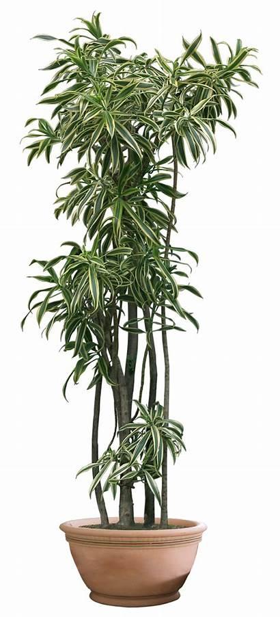 Plant Plants Transparent Clipart Background Tree Deviantart
