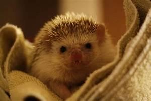 vampire teeth hedgehog - Daily Picks and Flicks