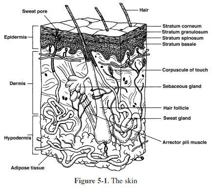 integumentary system coloring worksheet anatomy
