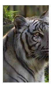 White Tiger at Busch Gardens | Wildlife nature, Nature ...