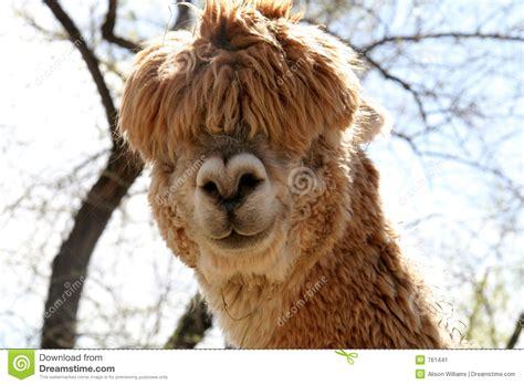 silly alpaca stock image image
