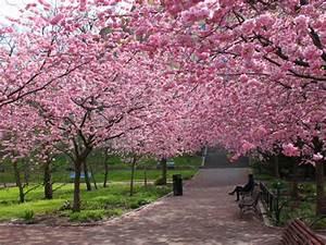 Les Plus Beaux Arbres Pour Le Jardin : cerisier du japon ou cerisier fleurs prunus ~ Premium-room.com Idées de Décoration