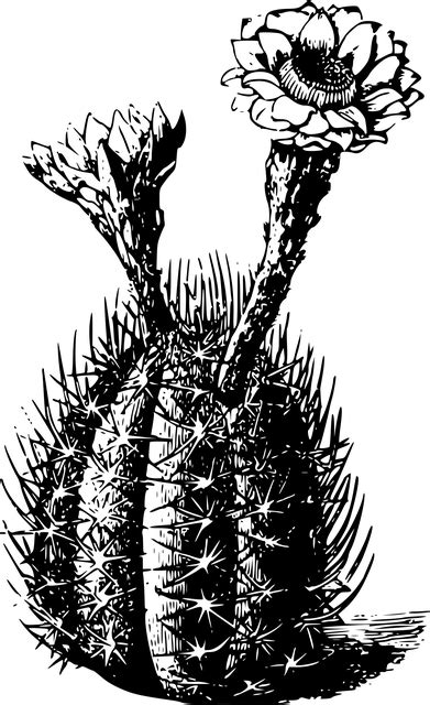 cactus flora flower  vector graphic  pixabay