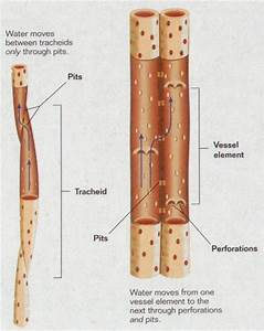 Tracheids Pits Vessel Elements Xylem Cells Diagram