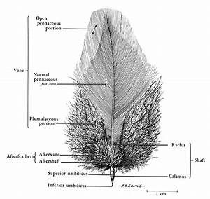 Main Parts Of A Typical Contour Feather  Exemplified By A