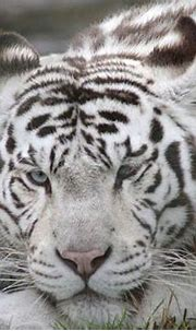The Mighty Tiger: 15 Facts and 25 Stunning Photos | White ...