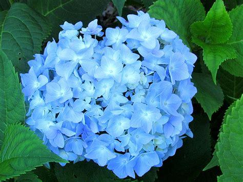 light blue flowers 7 light blue flowers to grow in your garden travis