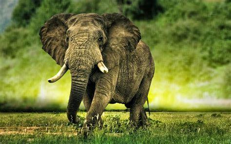 Elephant Hd Wallpapers ~ Animals World
