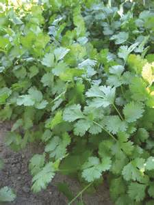 Cilantro and Coriander Leaves