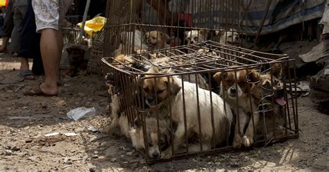 Dog Meat Is Finally Banned From Yulin Festival In China  Bored Panda