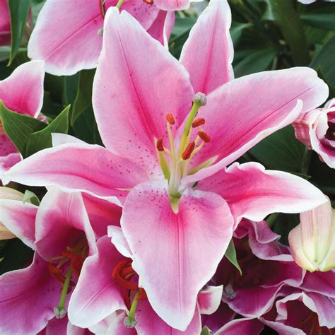 pictures of pink lilies oriental lillies lily defender pink lily bulbs thompson morgan flowers pinterest