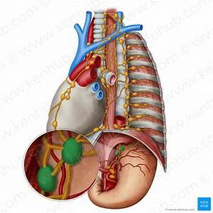 Mediastinum  Definition  Anatomy  Borders And Contents