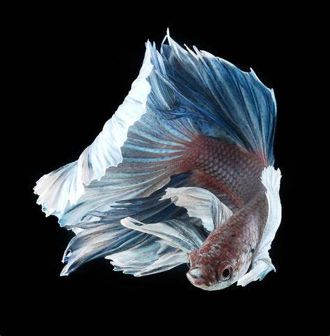 siamese fighting fish siamese fighting fish wallpapers hd download