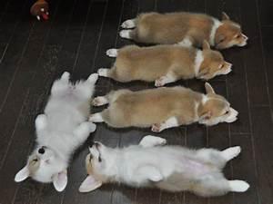 cute puppy corgi puppies corgis pembroke welsh corgi count ...