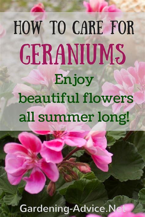 geranium care growing geraniums outdoors  indoors