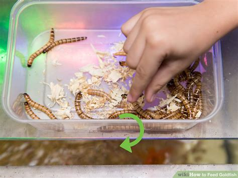 feed goldfish  steps  pictures wikihow