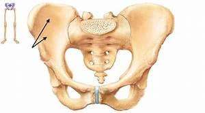 Illiac Crest  Pubis  Acetabelum  Ischium  Ischial Spine