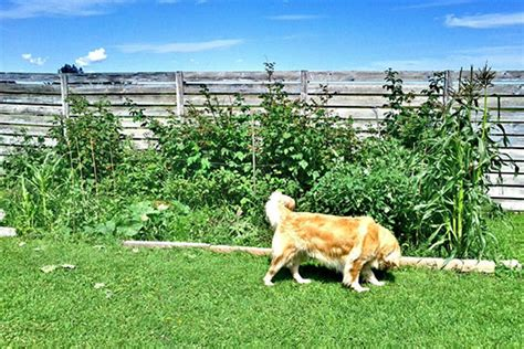 keep dogs out of garden how to keep dogs out of garden gardening tips advice
