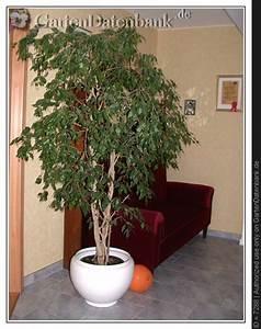 Ficus Benjamini Vermehren : birkenfeige ficus 39 benjamini 39 bilder fotos ficus ~ Lizthompson.info Haus und Dekorationen