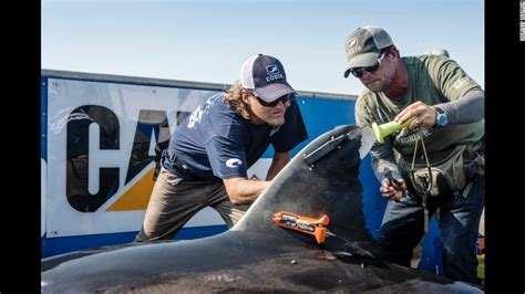 great white sharks   track em cnncom