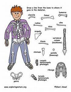 Labeled Picture Of Human Skeleton 8 Best Images Of Bones