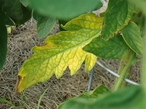 Tomato Plant Problems Worms, Rot, Blight, Cracking & More