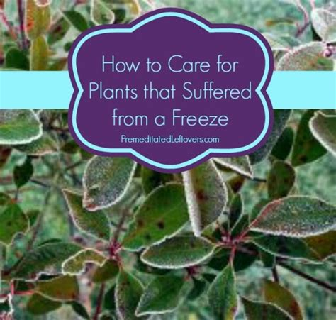 how do you care for bushes how to care for plants that were damaged in a freeze