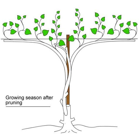 how to prune grape vines clemson extension service types of grapes for sc and planting guide grapes pinterest