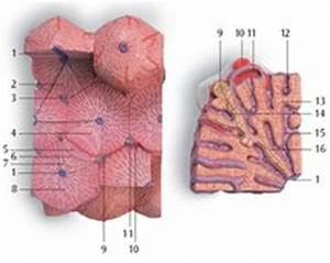 microscopic liver lobe segment model labeled - Google ...