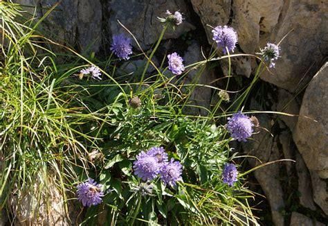allgaeu erleben lila blumen der allgaeuer alpen