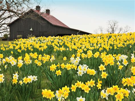 reasons   daffodil bulbs arent blooming