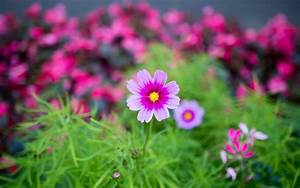 Colorful cosmos flowers wallpaper