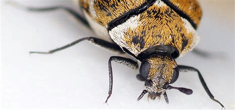 Carpet Beetles Eat More Than Rugs How To Get Dark Purple Nail Polish Out Of Carpet Cleaners Missouri City Texas Best Cleaner Liquid Uk Seaming Weight Cleaning Tx Clean Mold Off Car Can You Over Asbestos Tiles Color For Living Room