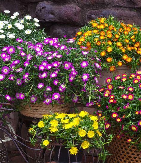 Garten Pflanzen Umsetzen by Winterharte Eisblume Quot White Quot 3 Pflanzen G 252 Nstig