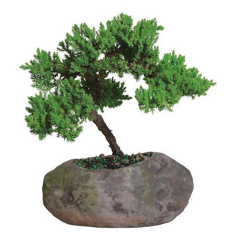 brussels bonsai green mound juniper  clay rock planter
