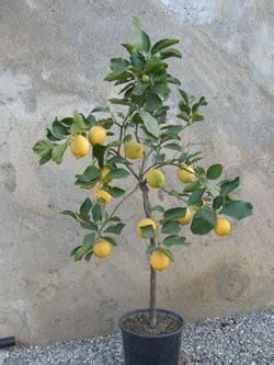 fioritura limoni in vaso vivai e piante quot leonti quot