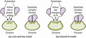 Enzyme Structure And Function