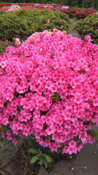 evergreen shrub with pink flowers the plant summer and spring on pinterest