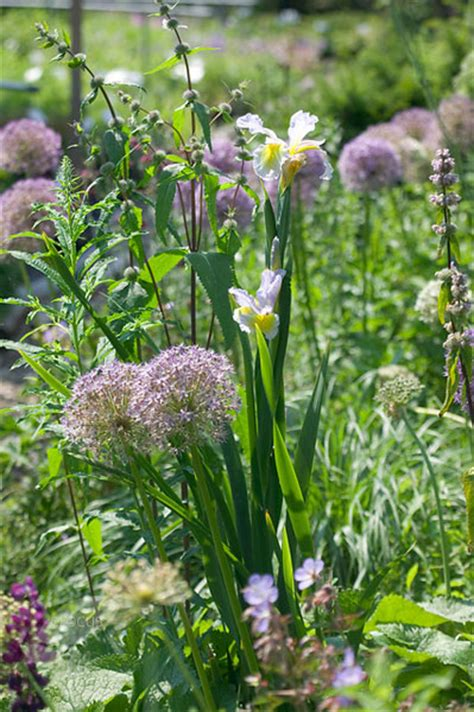 can you plant allium bulbs in buy allium bulbs allium gladiator delivery by crocus