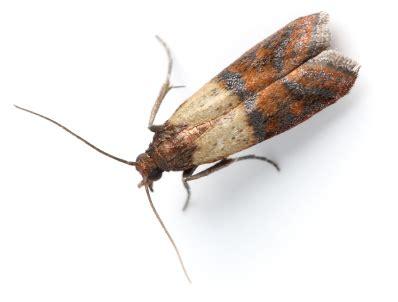 Indian Pantry Moth Pantry Pests Plunkett S Pest
