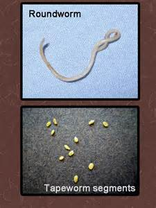 types of worms in cats deworming your cat poc