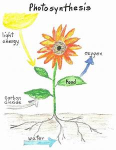 Plant Food - Photosynthesis