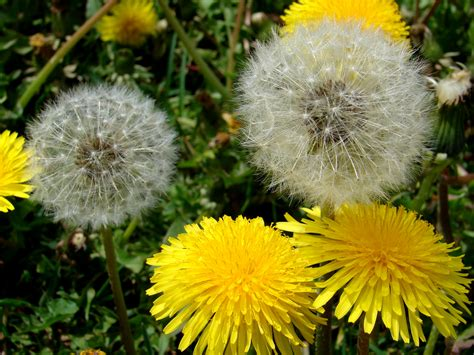 Dandelion Clock  Binzy's Promiscuous Thoughts