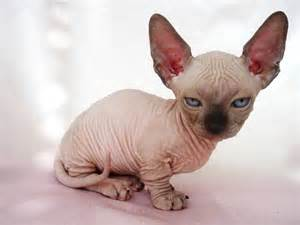 baby hairless cats the five ugliest cat breeds in the world