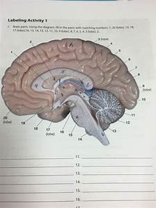 Picture Of Brain With Parts Labeled