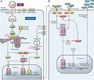 JCI - Emerging concepts in immunity to hepatitis C virus ...