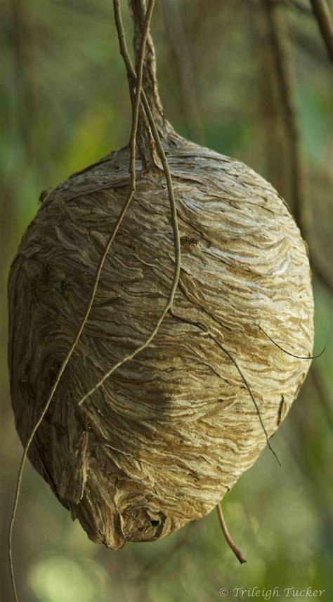 ideas  wasp nest  pinterest wasp spray