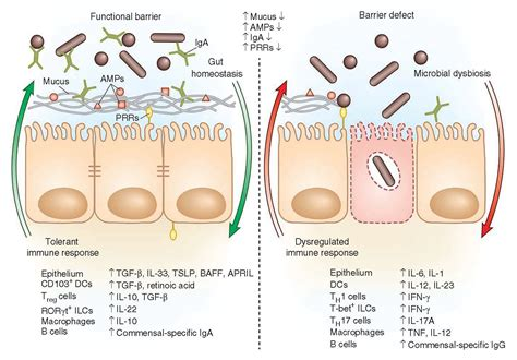 regulation of immunity the microbiome immunopaedia