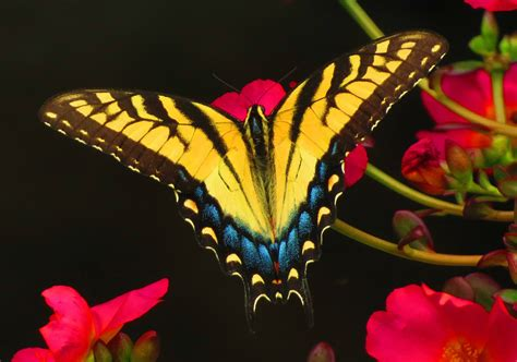north carolinas state butterfly birds  blooms